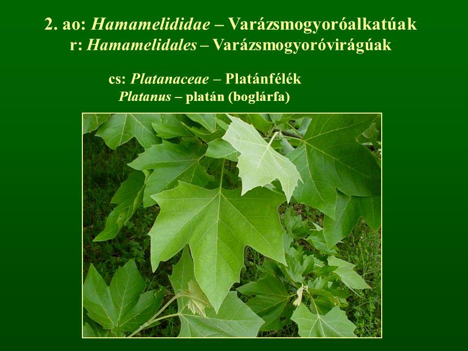2. ao: Hamamelididae – Varázsmogyoróalkatúak
