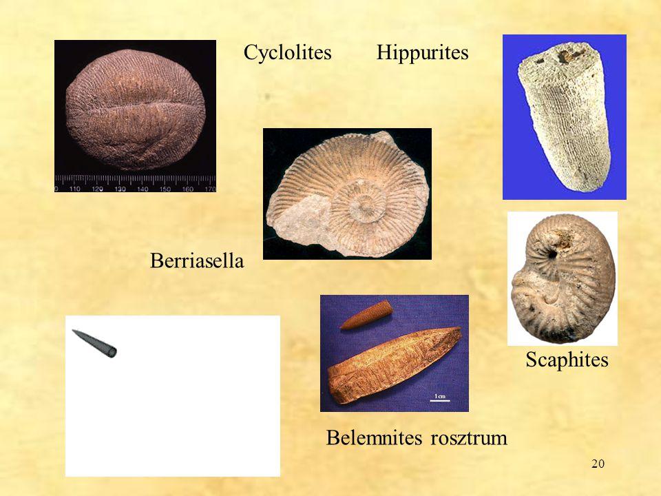 Cyclolites Hippurites