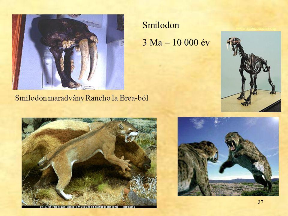 Smilodon 3 Ma – 10 000 év Smilodon maradvány Rancho la Brea-ból