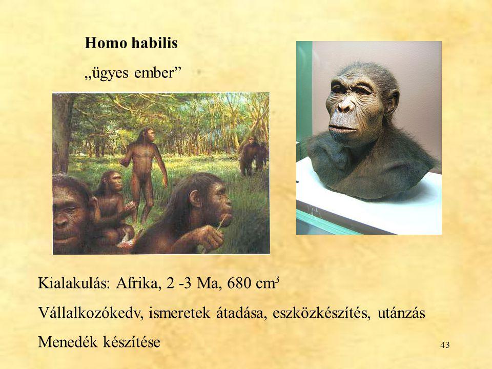 """Homo habilis """"ügyes ember Kialakulás: Afrika, 2 -3 Ma, 680 cm3. Vállalkozókedv, ismeretek átadása, eszközkészítés, utánzás."""