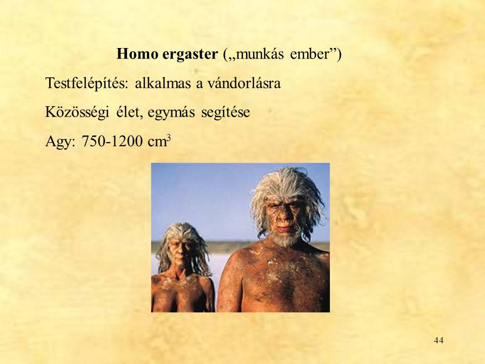 "Homo ergaster (""munkás ember )"