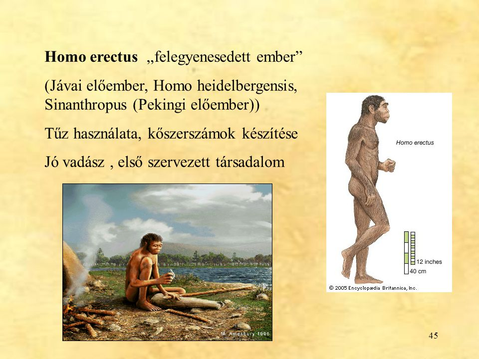 """Homo erectus """"felegyenesedett ember"""