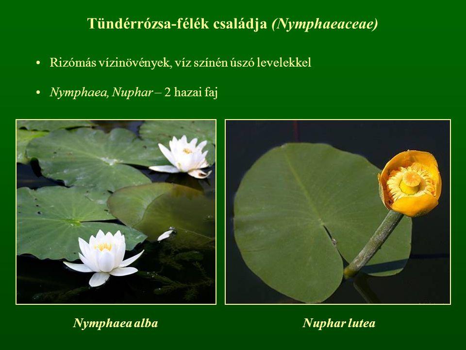 Tündérrózsa-félék családja (Nymphaeaceae)