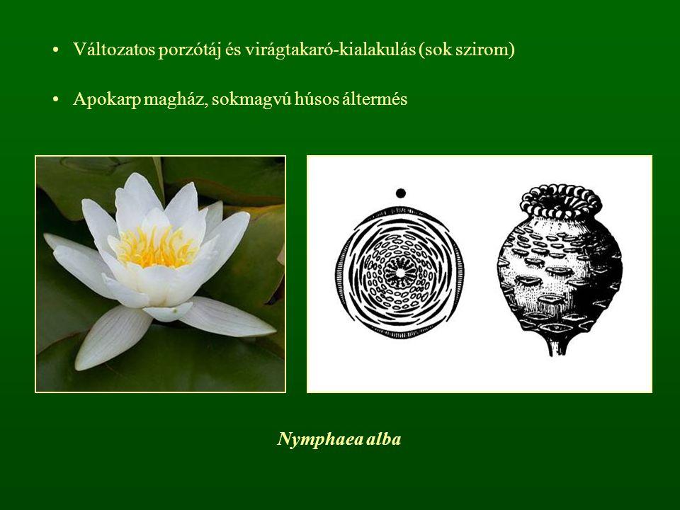 Változatos porzótáj és virágtakaró-kialakulás (sok szirom)