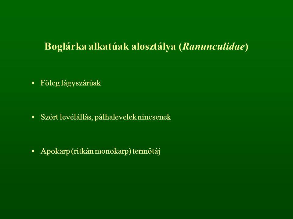 Boglárka alkatúak alosztálya (Ranunculidae)