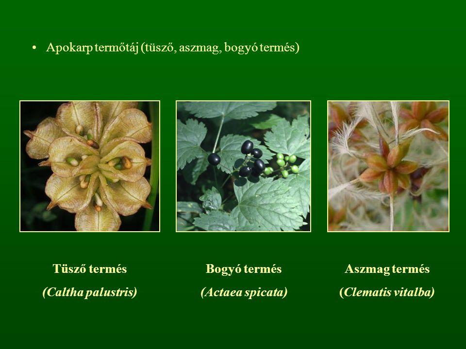 Apokarp termőtáj (tüsző, aszmag, bogyó termés)