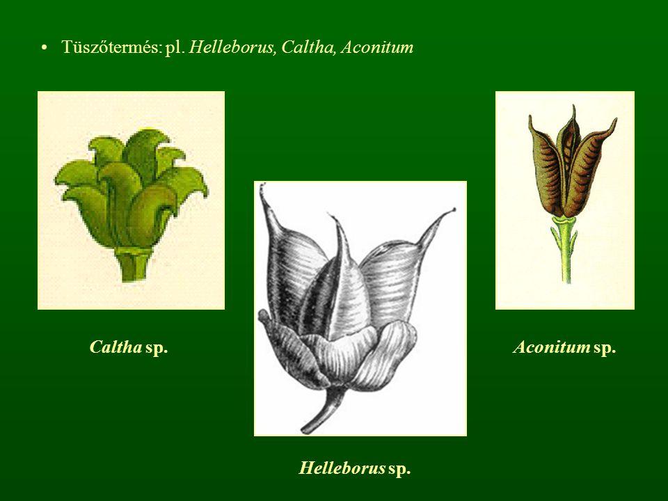 Tüszőtermés: pl. Helleborus, Caltha, Aconitum