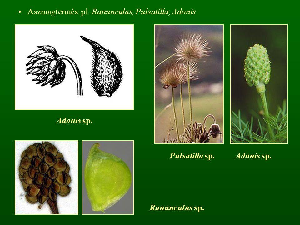 Pulsatilla sp. Adonis sp.