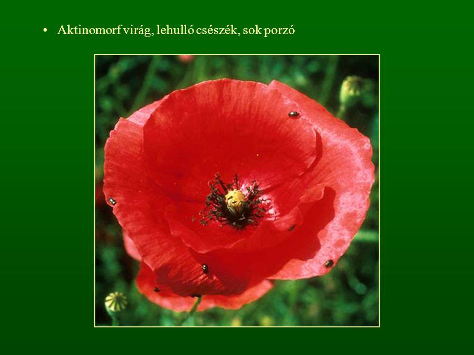 Aktinomorf virág, lehulló csészék, sok porzó