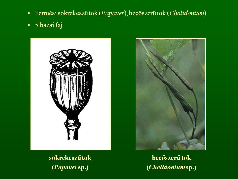 Termés: sokrekeszű tok (Papaver), becőszerű tok (Chelidonium)