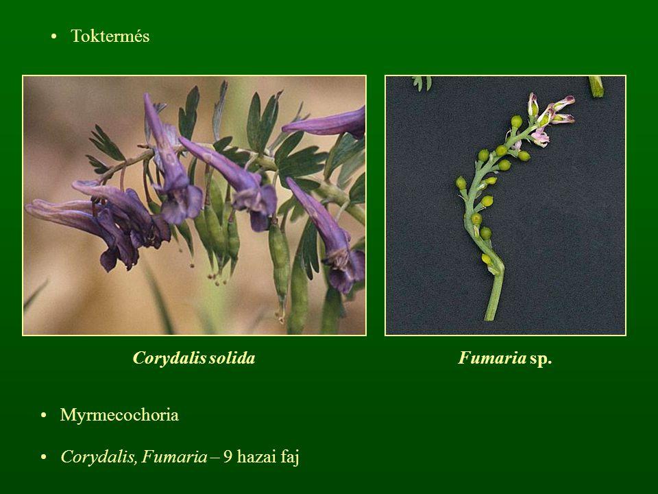 Toktermés Corydalis solida Fumaria sp. Myrmecochoria Corydalis, Fumaria – 9 hazai faj