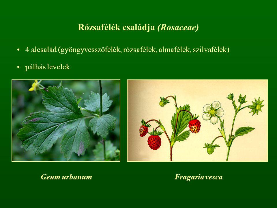Rózsafélék családja (Rosaceae)