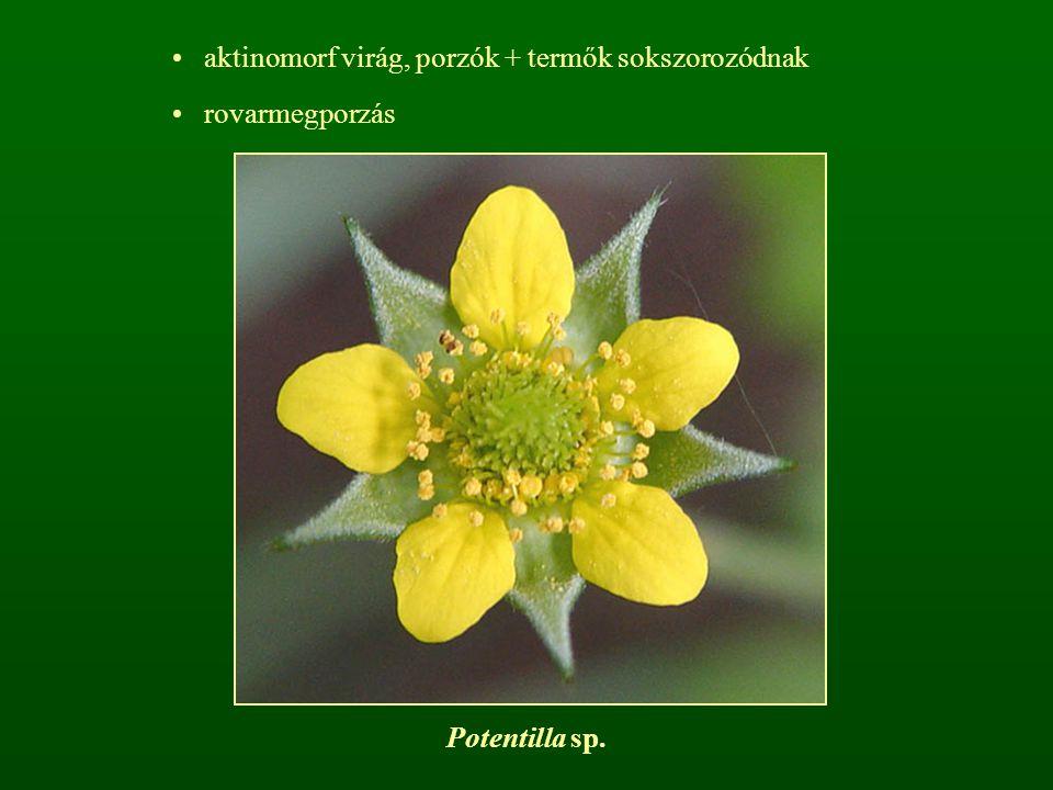 aktinomorf virág, porzók + termők sokszorozódnak