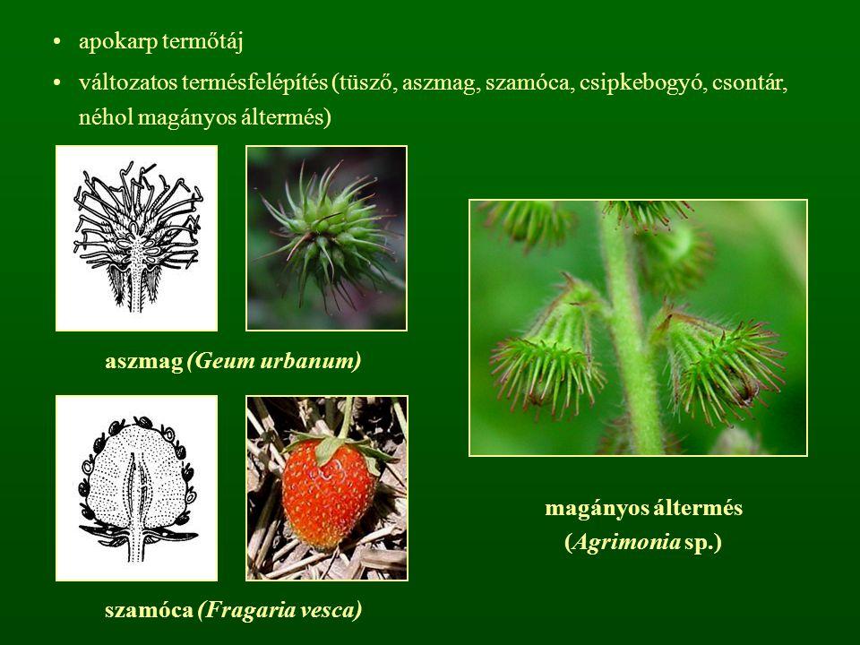 szamóca (Fragaria vesca)