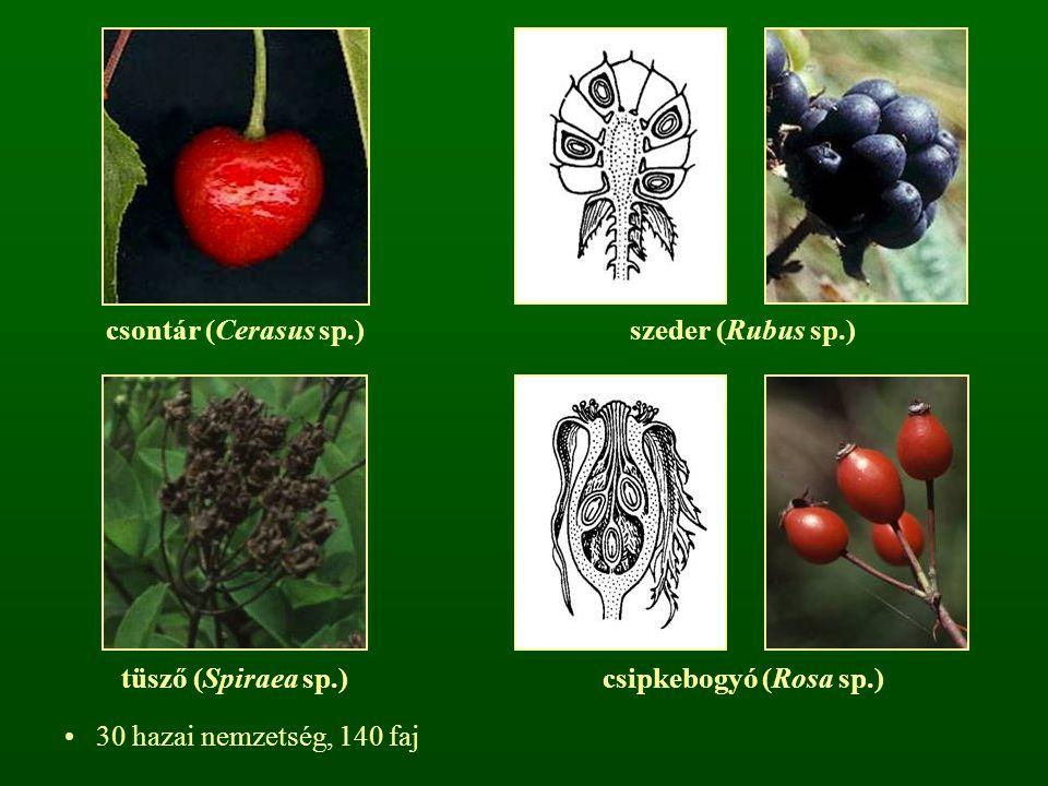 csontár (Cerasus sp.) szeder (Rubus sp.) tüsző (Spiraea sp.) csipkebogyó (Rosa sp.) 30 hazai nemzetség, 140 faj.