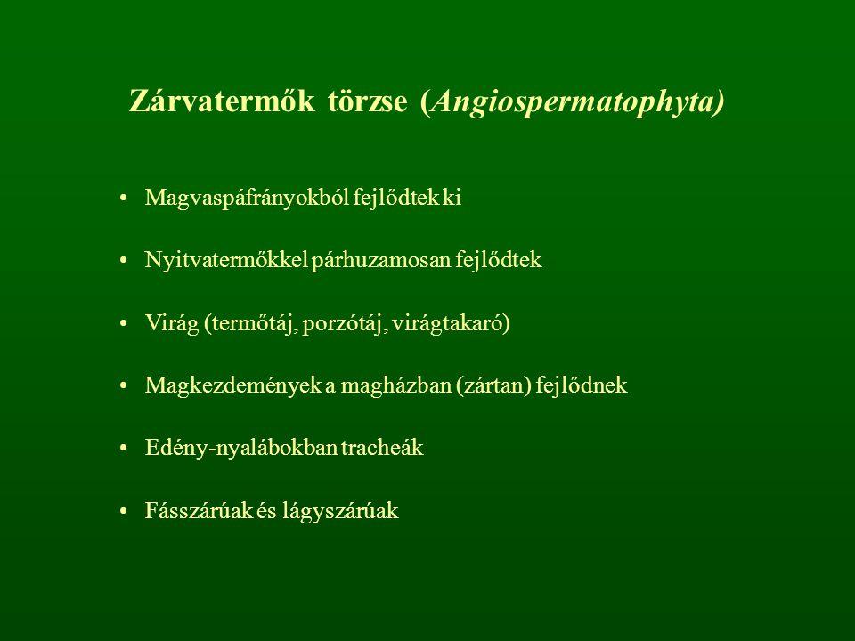 Zárvatermők törzse (Angiospermatophyta)
