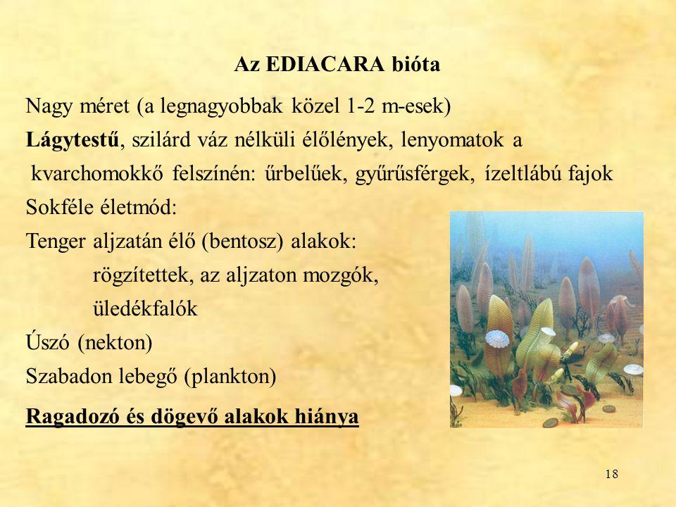 Az EDIACARA bióta Nagy méret (a legnagyobbak közel 1-2 m-esek) Lágytestű, szilárd váz nélküli élőlények, lenyomatok a.