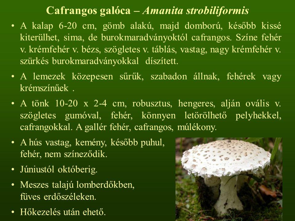 Cafrangos galóca – Amanita strobiliformis