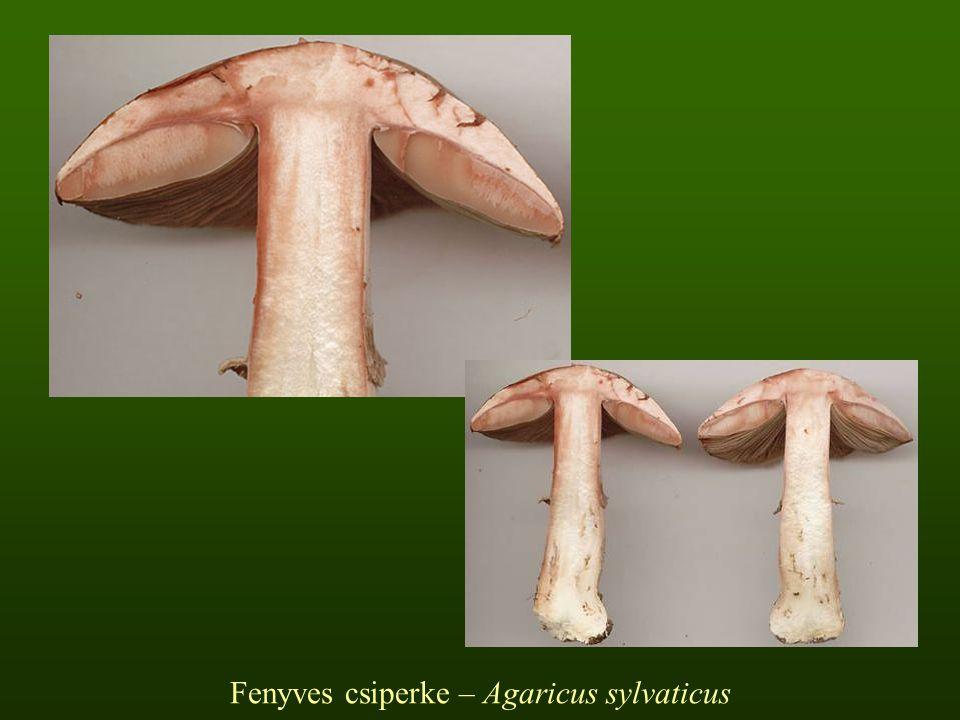 Fenyves csiperke – Agaricus sylvaticus