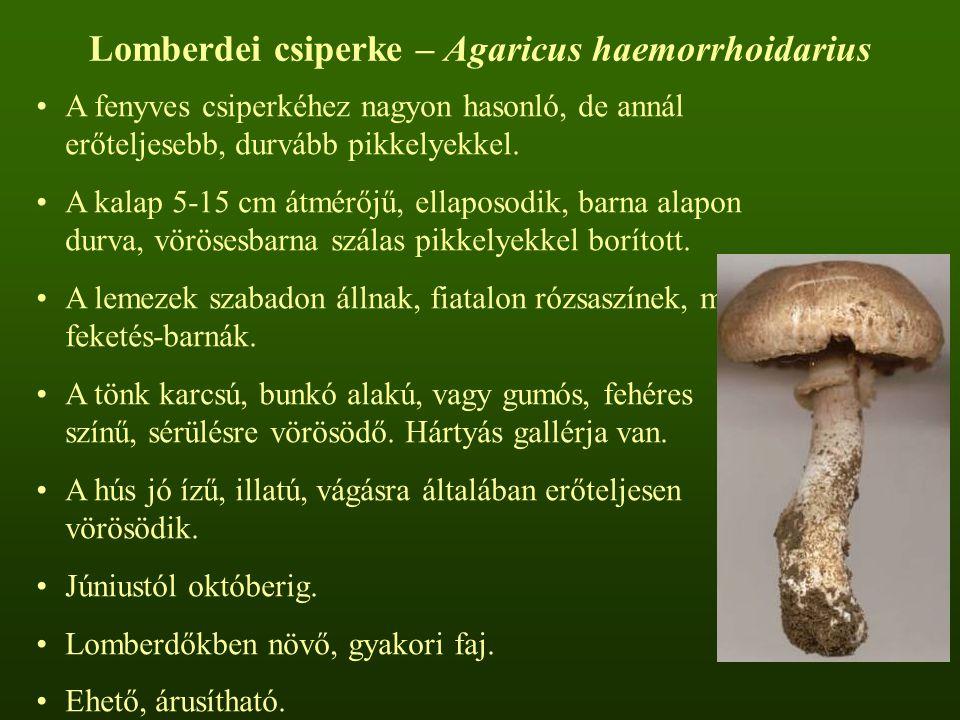 Lomberdei csiperke – Agaricus haemorrhoidarius