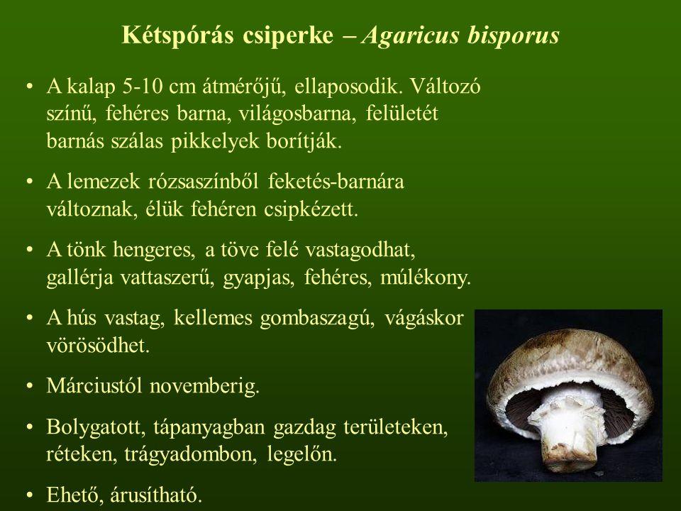 Kétspórás csiperke – Agaricus bisporus
