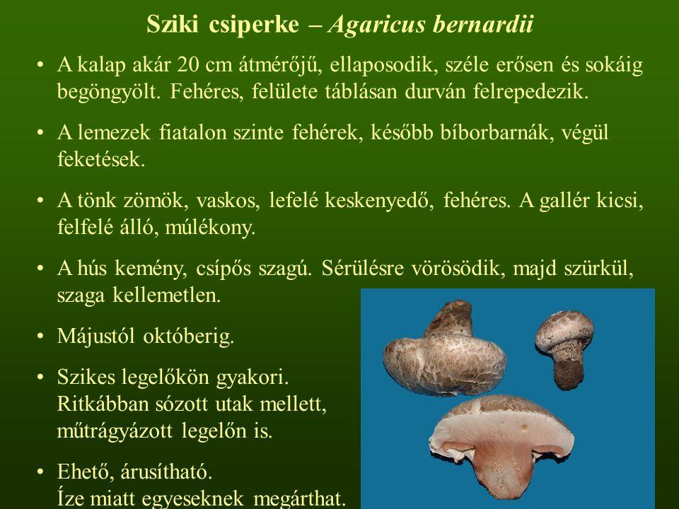 Sziki csiperke – Agaricus bernardii