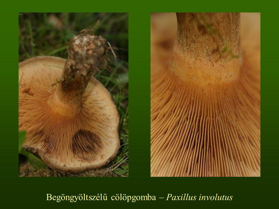Begöngyöltszélű cölöpgomba – Paxillus involutus