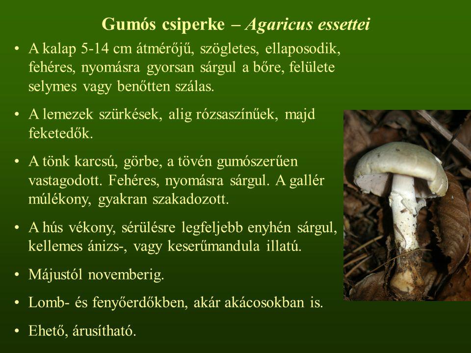 Gumós csiperke – Agaricus essettei
