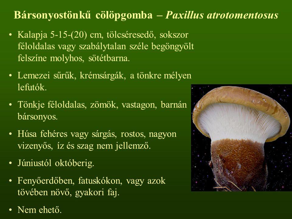 Bársonyostönkű cölöpgomba – Paxillus atrotomentosus
