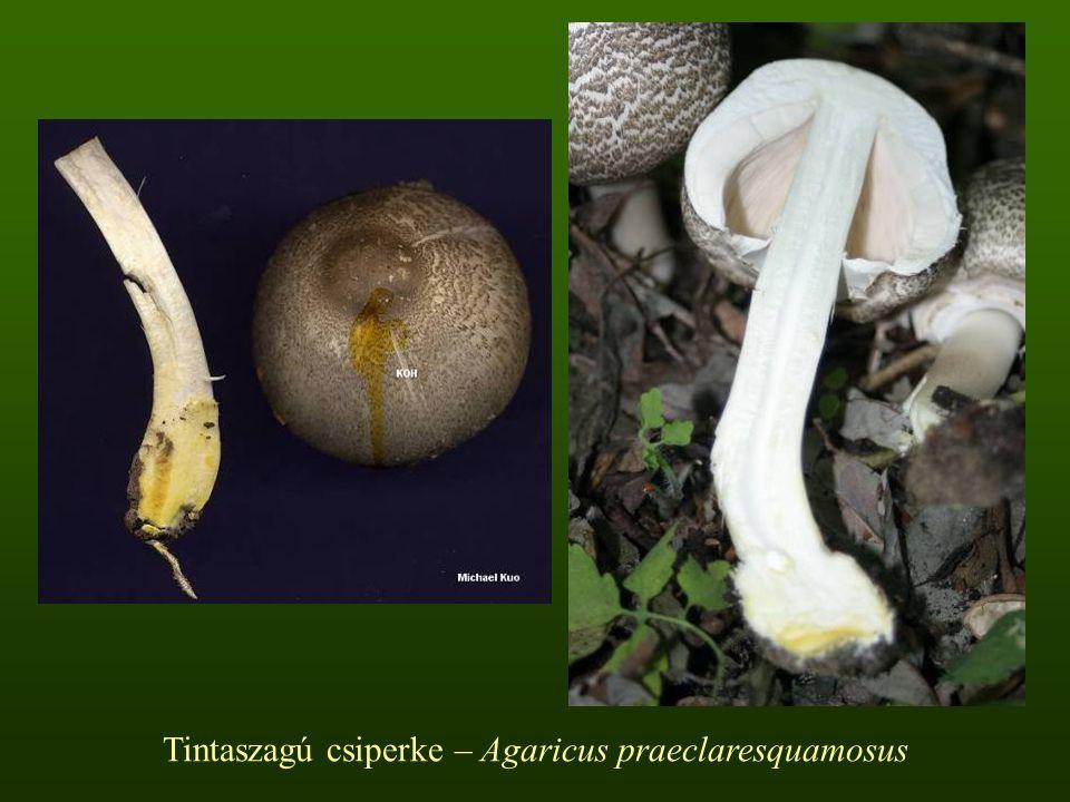 Tintaszagú csiperke – Agaricus praeclaresquamosus