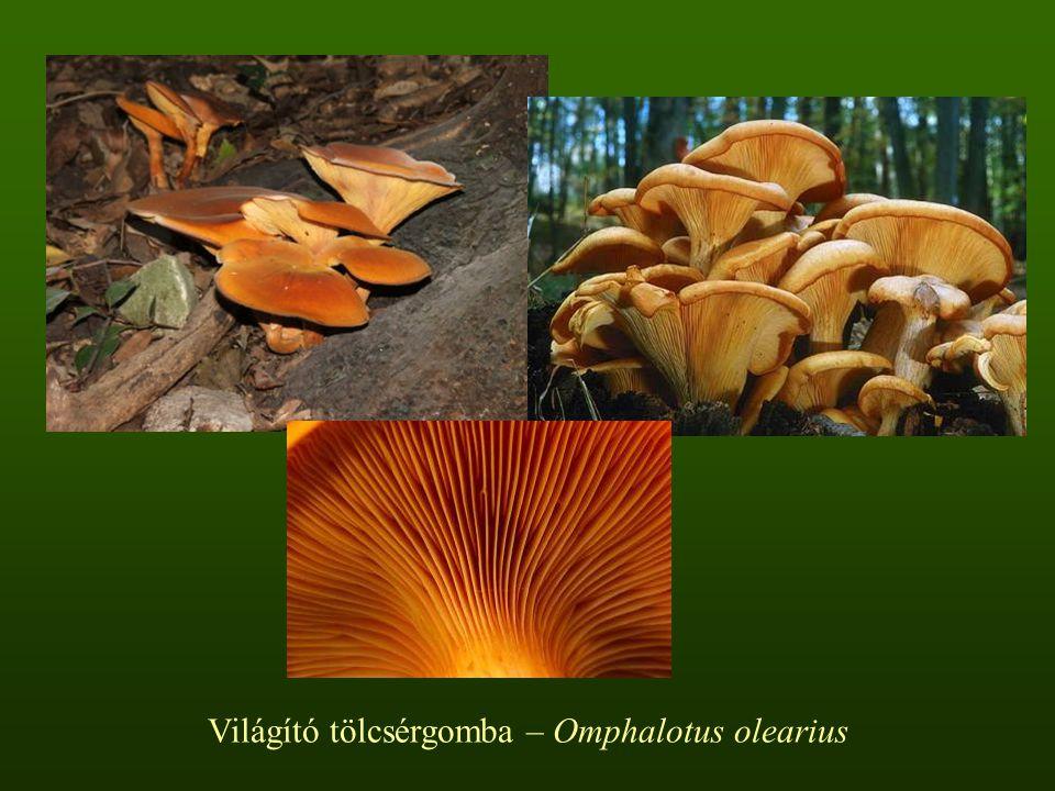 Világító tölcsérgomba – Omphalotus olearius