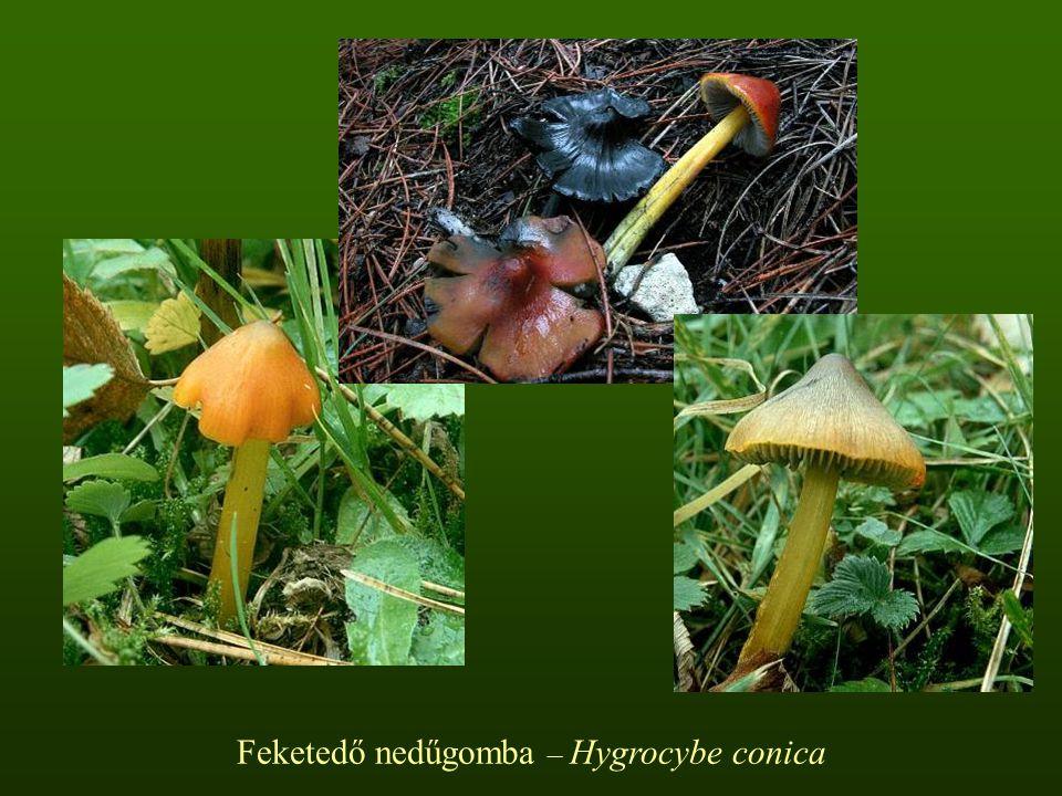 Feketedő nedűgomba – Hygrocybe conica