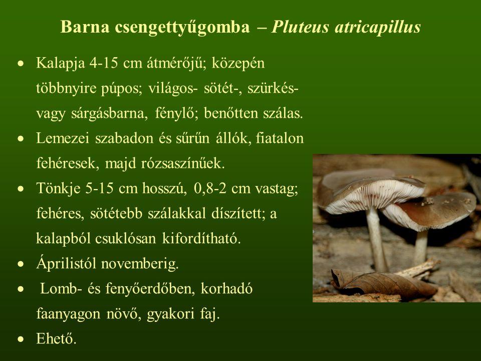 Barna csengettyűgomba – Pluteus atricapillus