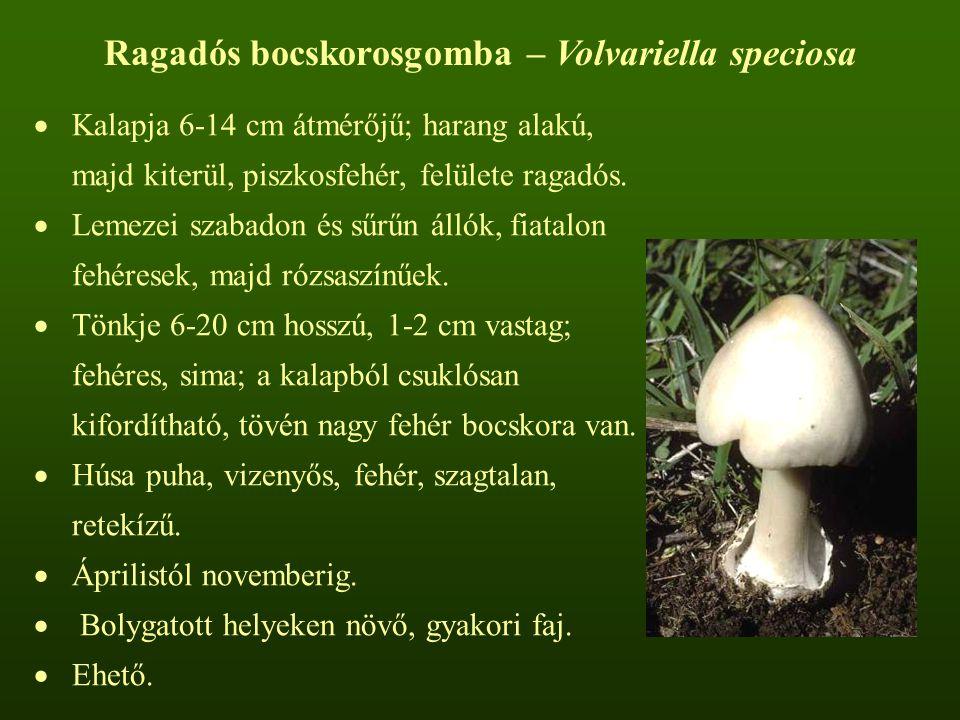 Ragadós bocskorosgomba – Volvariella speciosa