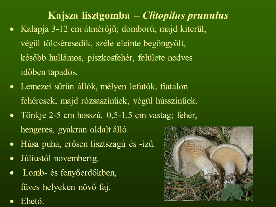Kajsza lisztgomba – Clitopilus prunulus
