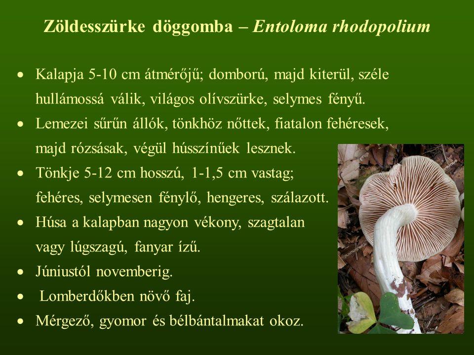 Zöldesszürke döggomba – Entoloma rhodopolium