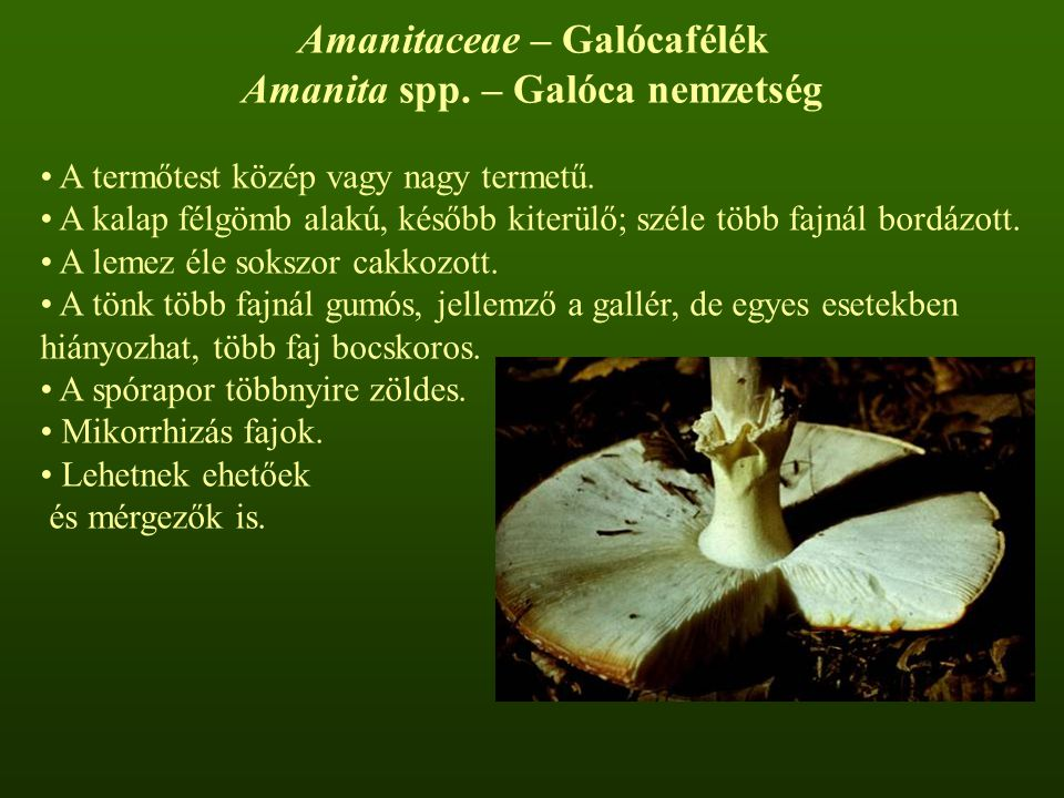 Amanitaceae – Galócafélék Amanita spp. – Galóca nemzetség