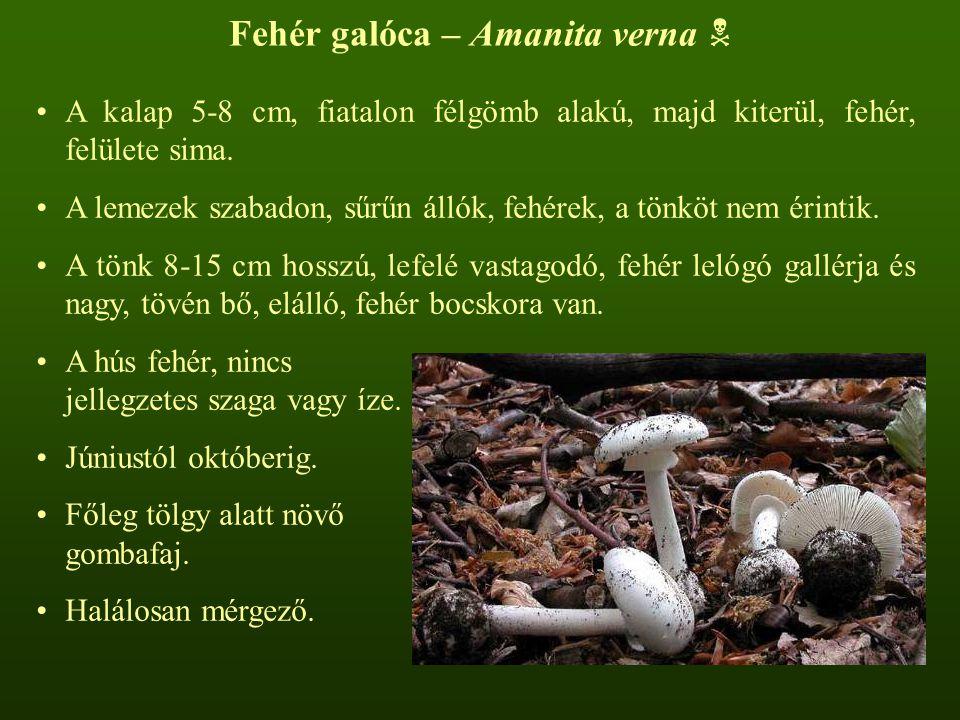 Fehér galóca – Amanita verna 