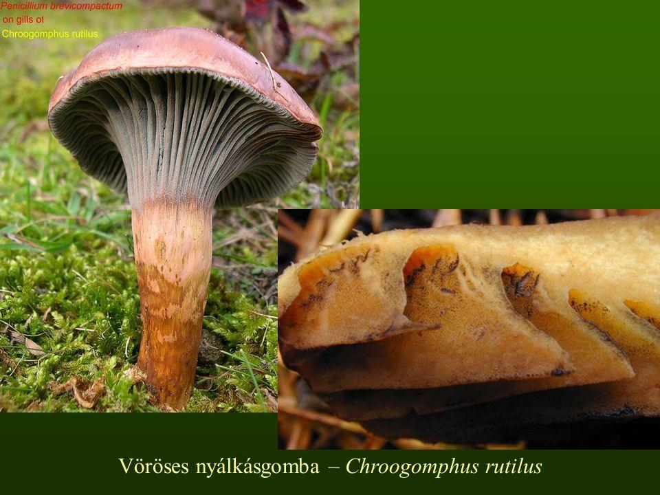 Vöröses nyálkásgomba – Chroogomphus rutilus