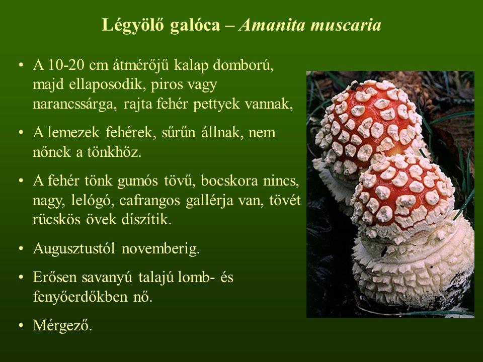 Légyölő galóca – Amanita muscaria