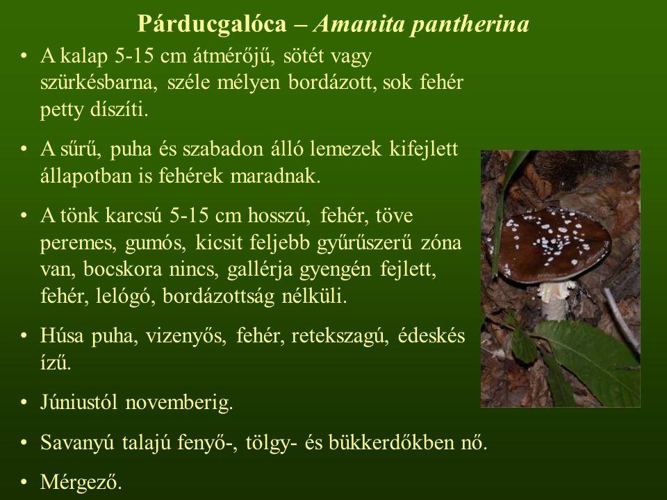 Párducgalóca – Amanita pantherina
