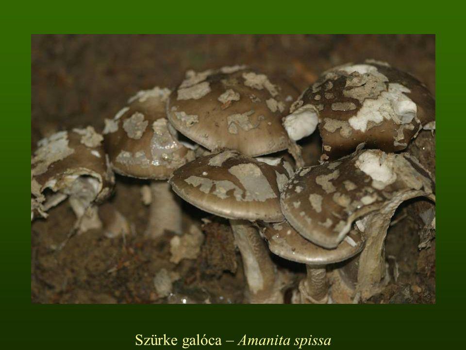 Szürke galóca – Amanita spissa