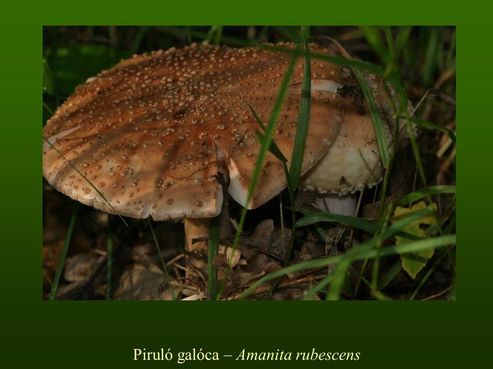 Piruló galóca – Amanita rubescens