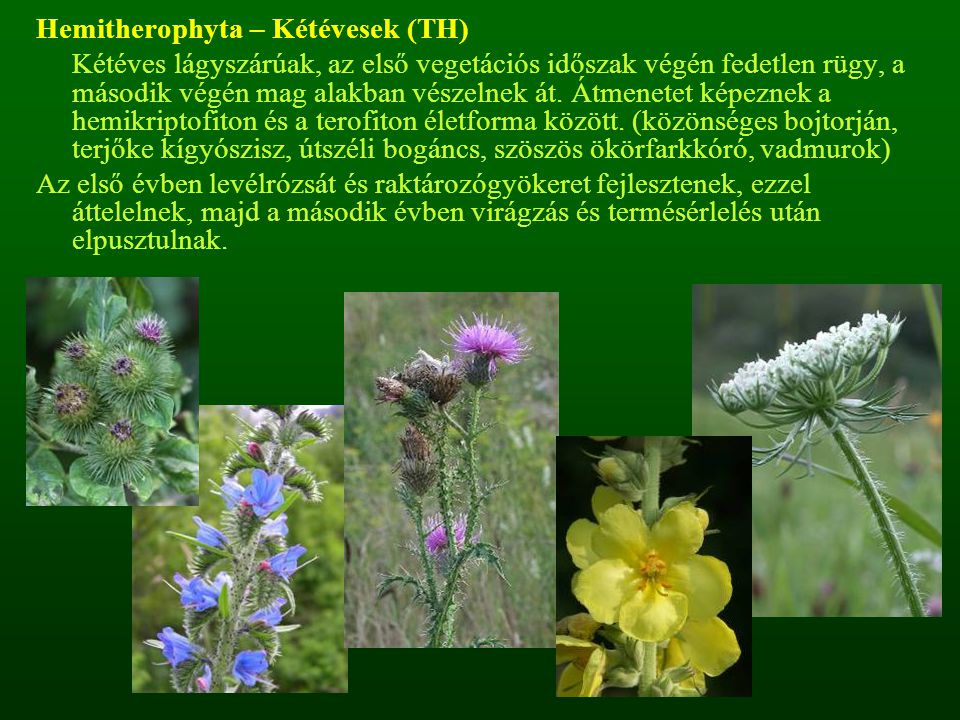 Hemitherophyta – Kétévesek (TH)