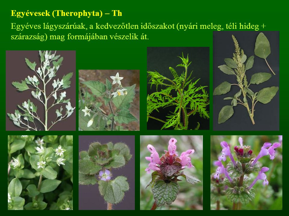 Egyévesek (Therophyta) – Th