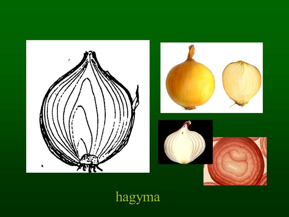 hagyma