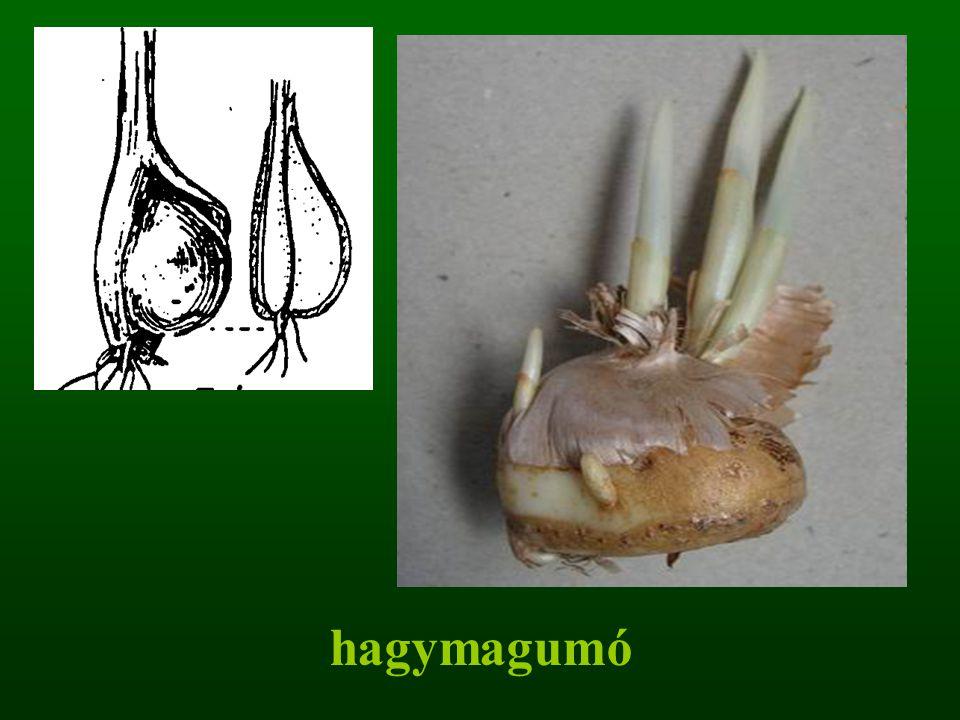 hagymagumó