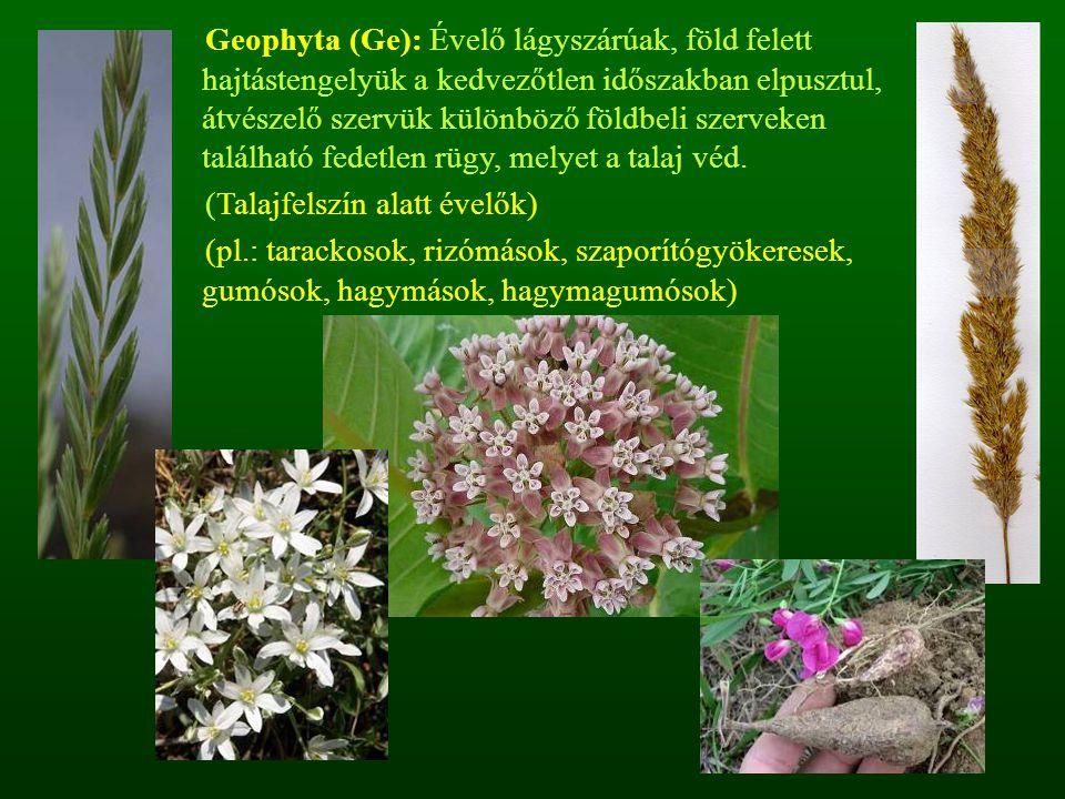 Geophyta (Ge): Évelő lágyszárúak, föld felett hajtástengelyük a kedvezőtlen időszakban elpusztul, átvészelő szervük különböző földbeli szerveken található fedetlen rügy, melyet a talaj véd.