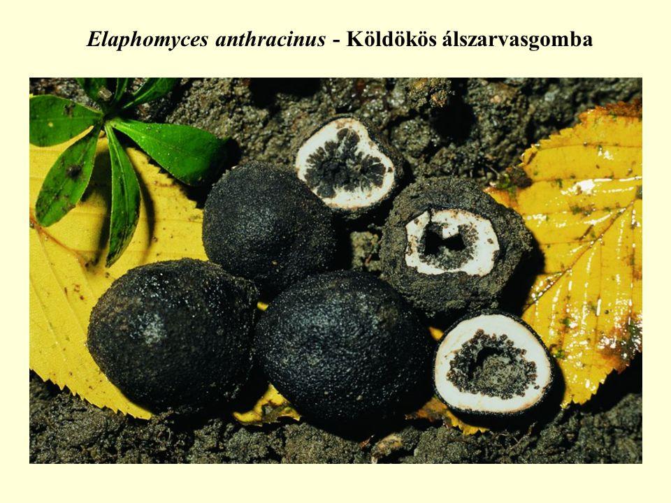 Elaphomyces anthracinus - Köldökös álszarvasgomba