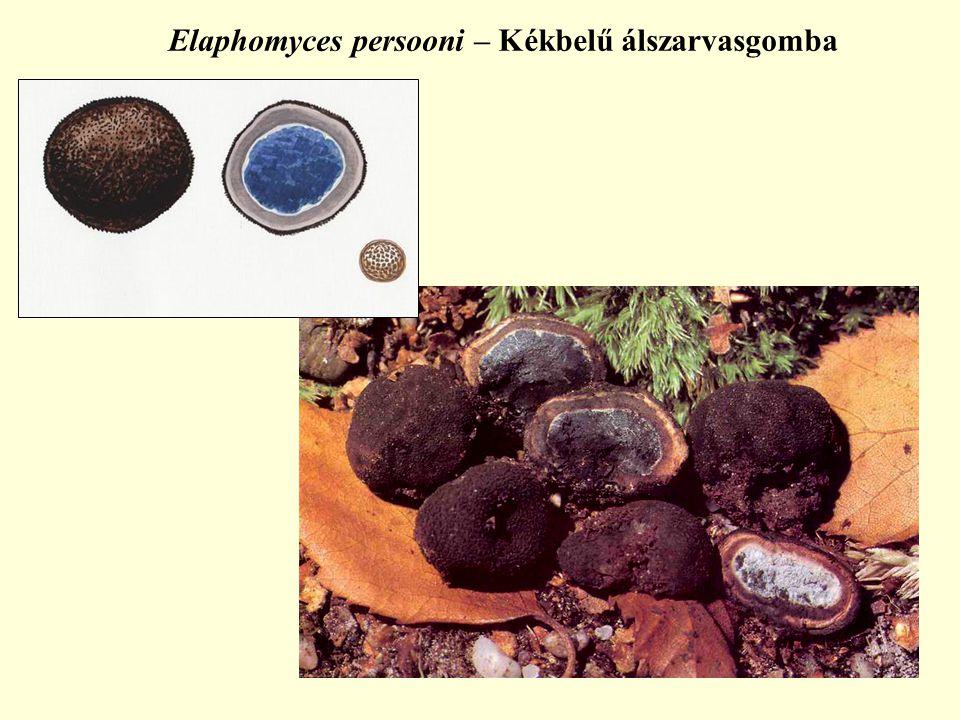 Elaphomyces persooni – Kékbelű álszarvasgomba